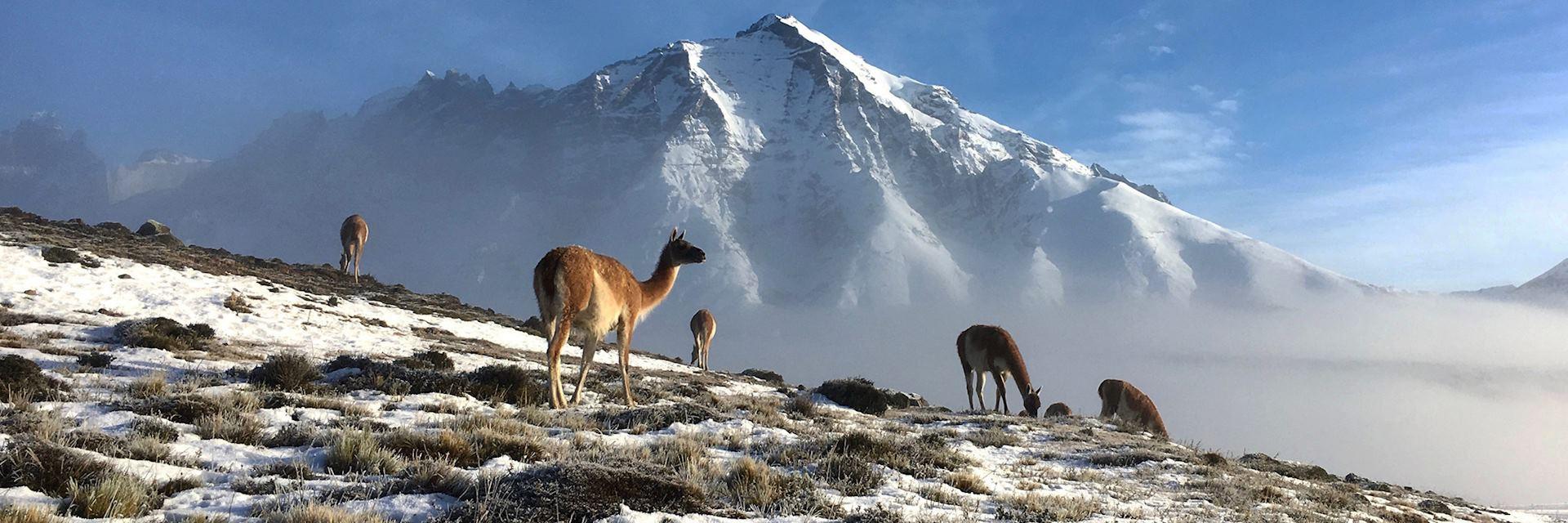 Guanaco, Torres del Paine National Park