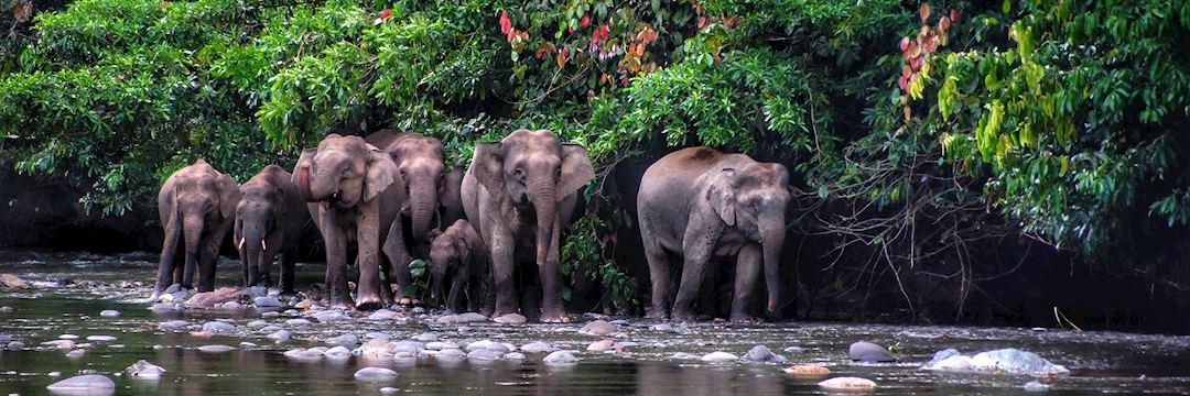 Pygmy elephant in the Danum Valley, Borneo