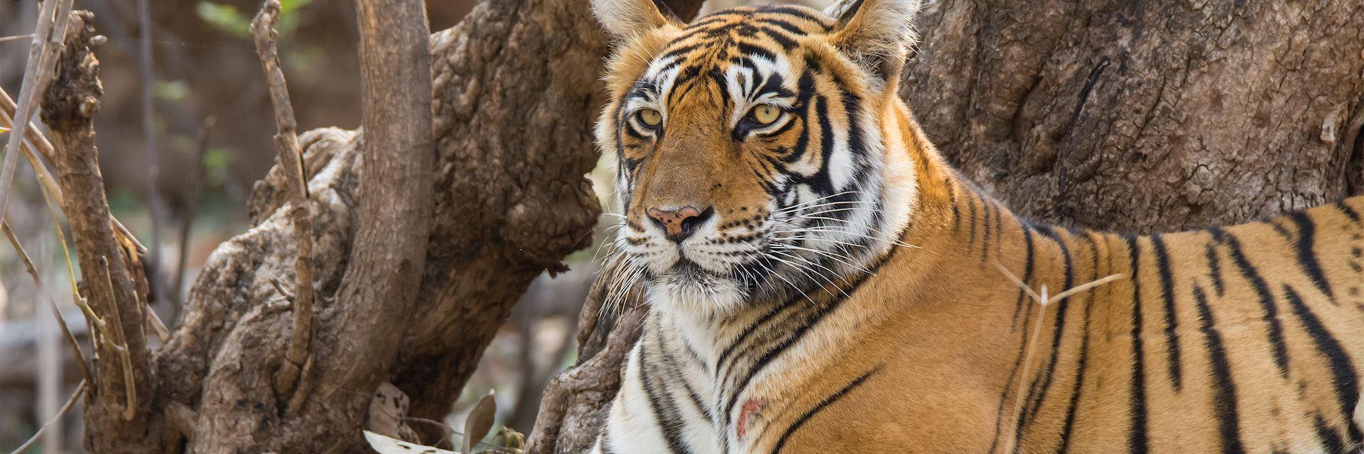 Tiger, Ranthambhore National Park