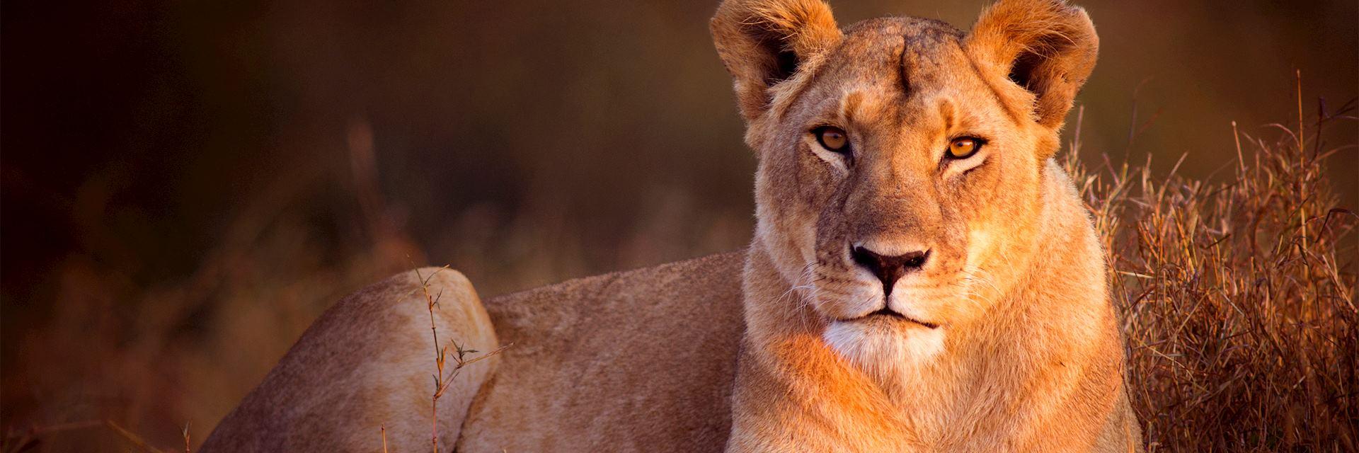 Lioness in the Masai Mara, Kenya