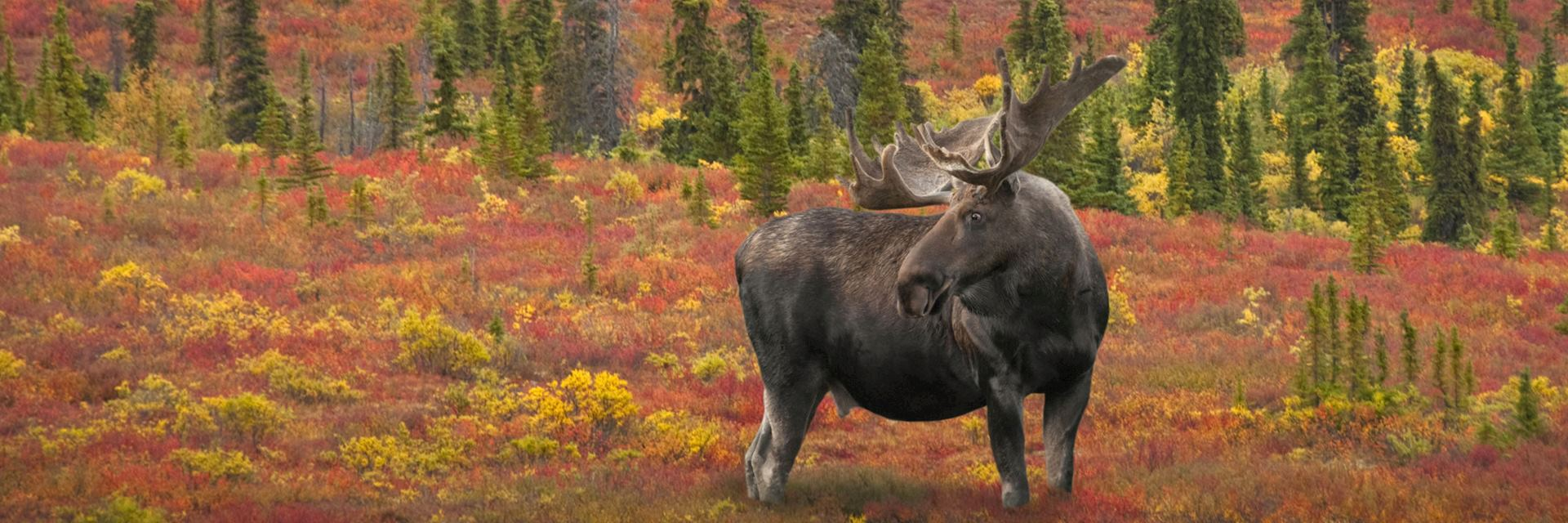 Alaska bull moose, Denali National Park