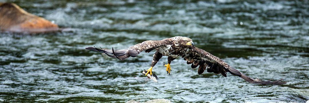Eagle with a fish, Alaska