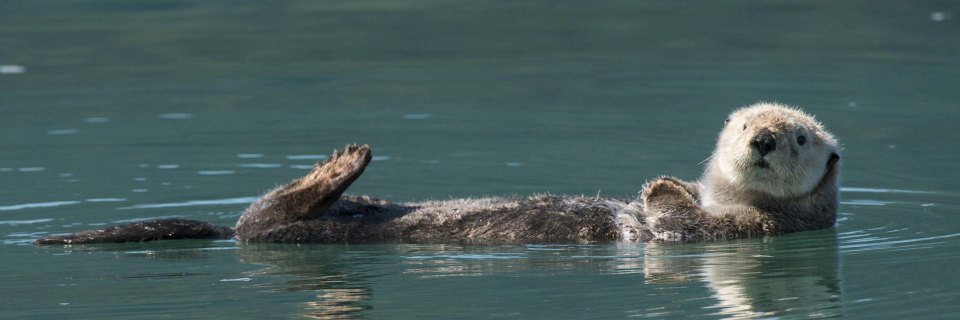 Otter in Prince William Sound