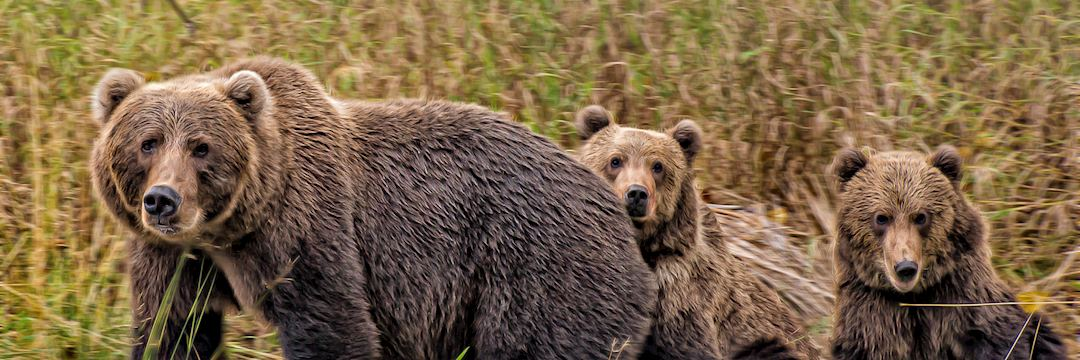 A female grizzly bear and her cubs