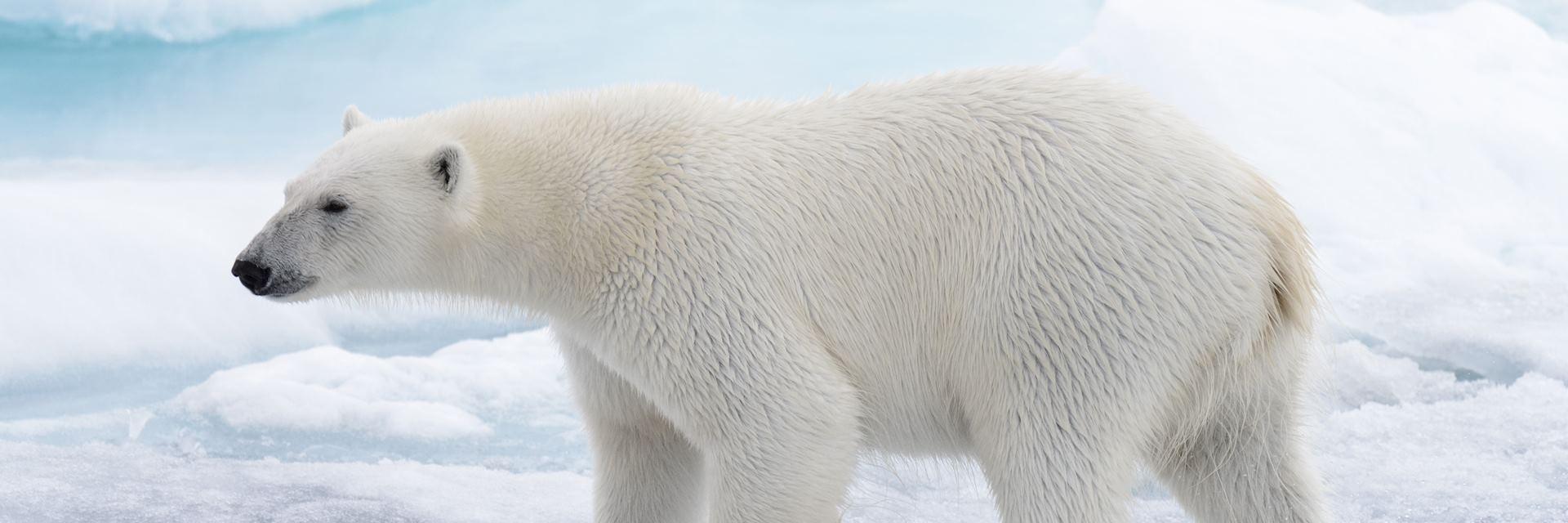Polar bear in Barrow