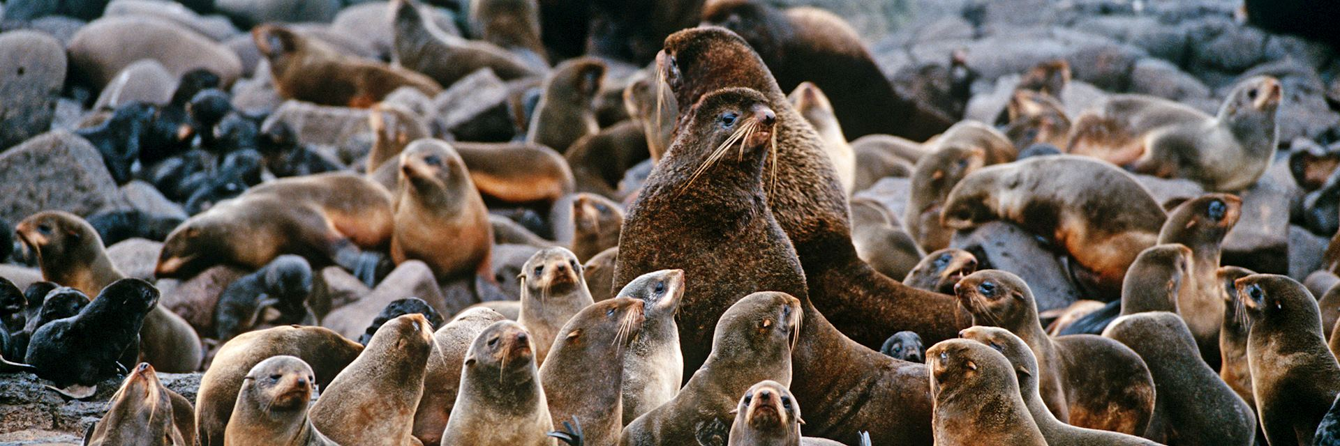 Fur seals in the Pribilof Islands, Alaska