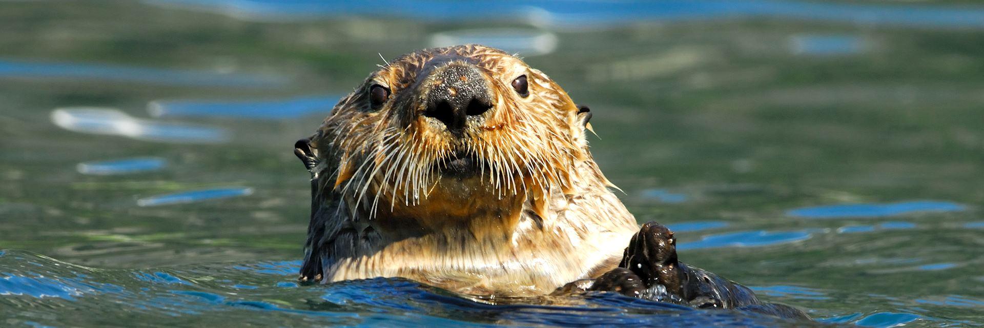 Sea otter, Kenai Peninsula