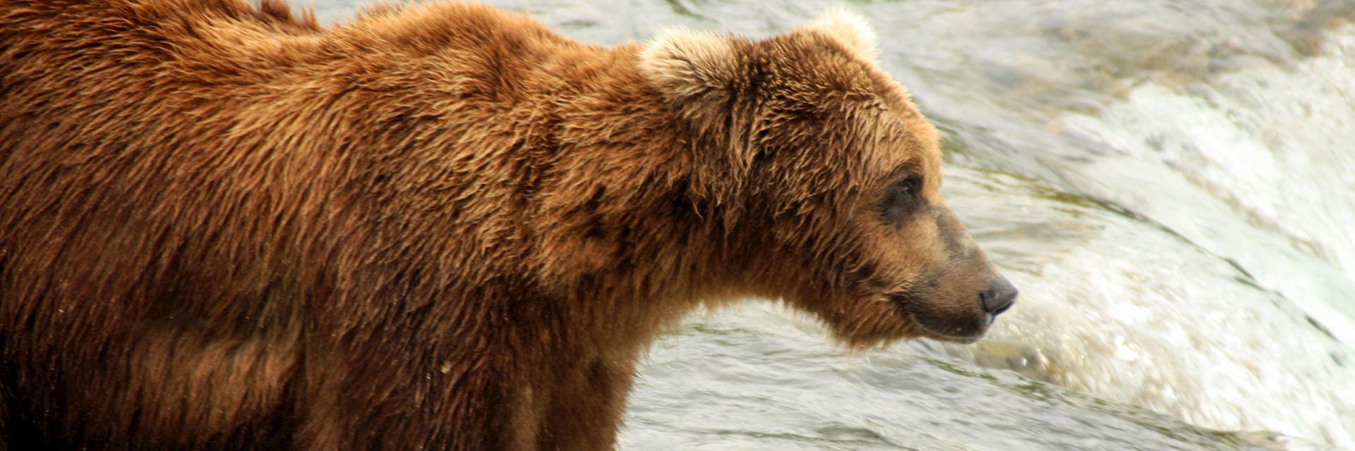 Grizzly bear, Brooks Falls, Katmai National Park