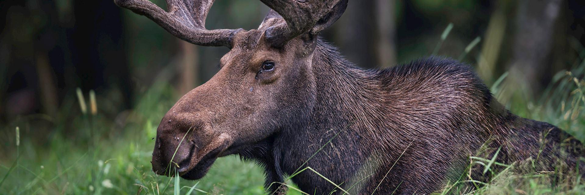 Moose in Quebec