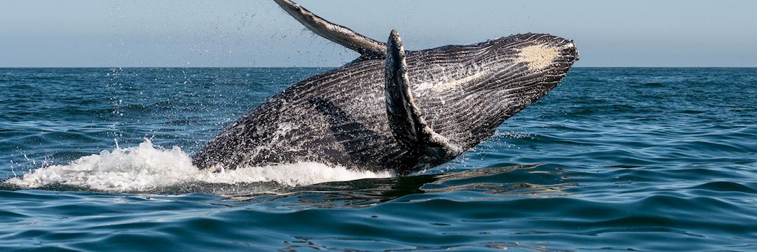 Humpback whale, Vancouver Island