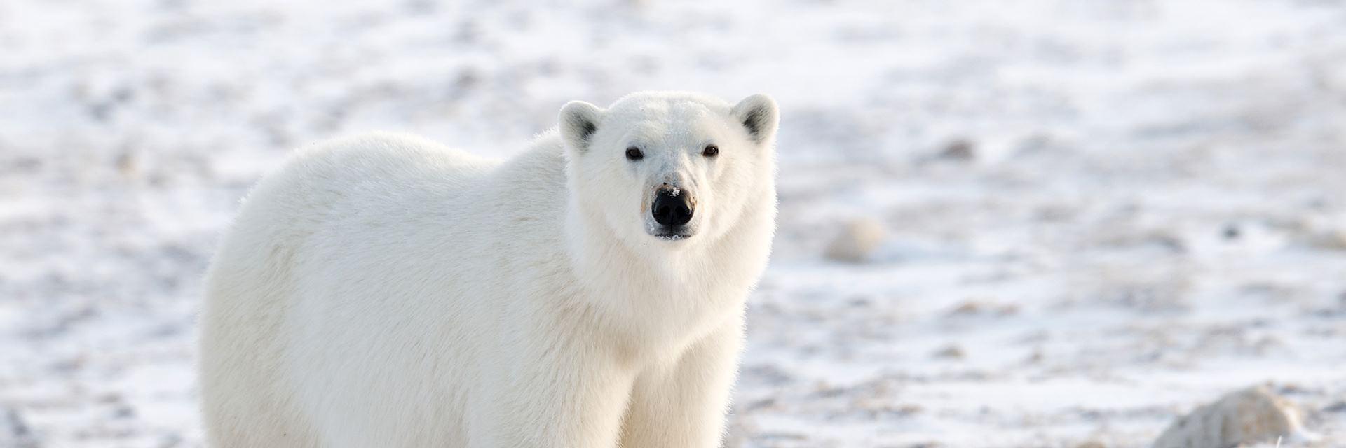 Polar bear on the tundra, Churchill, Canada