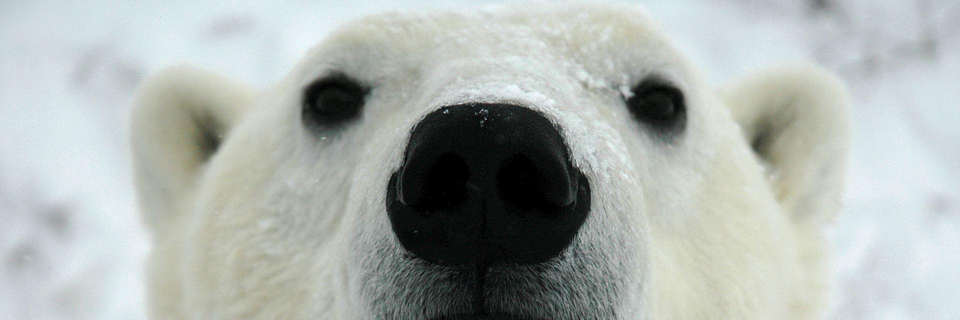 Polar bear in Canada's Arctic