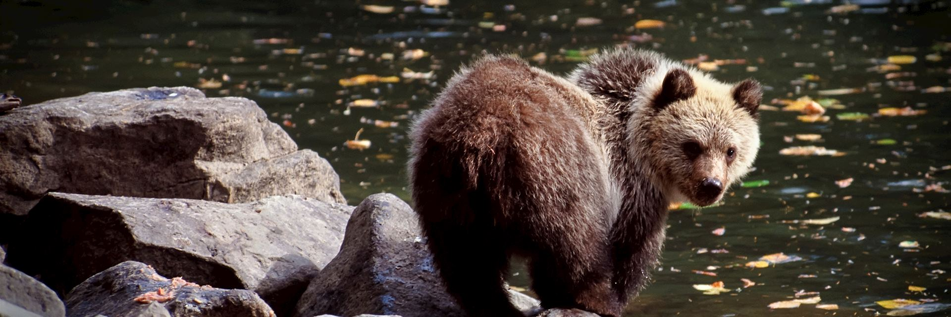 Grizzly bear, Canada