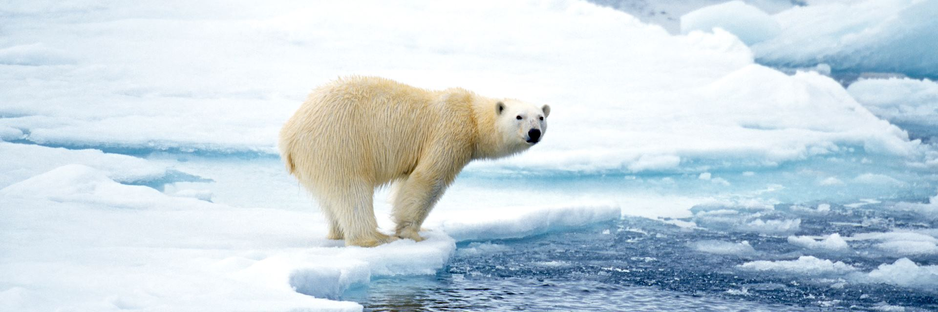 Polar bear in Arctic Canada