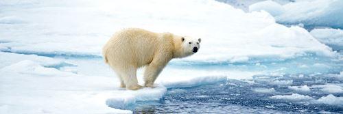 Polar bear in Arctic Canada