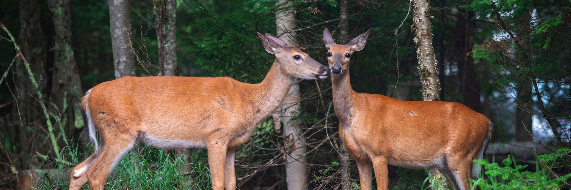 White-tailed deer on Anticosti Island