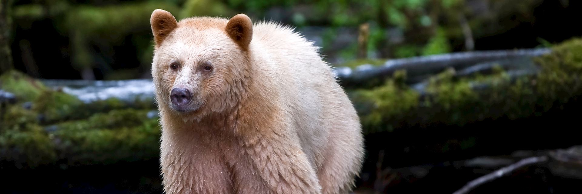 Kermode bear, Princess Royal Island