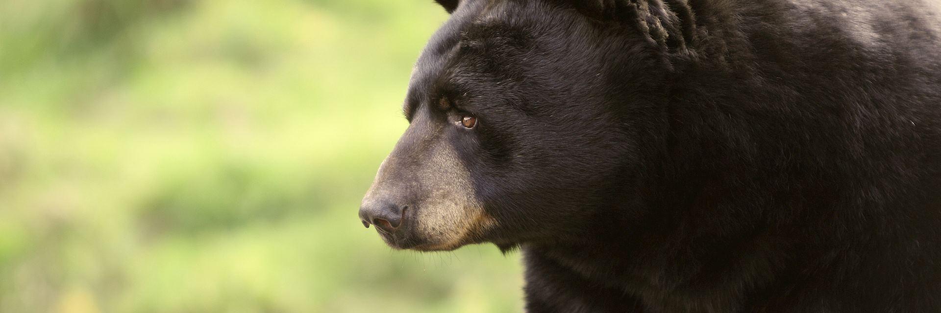 Black bear in Mastigouche Wildlife Reserve