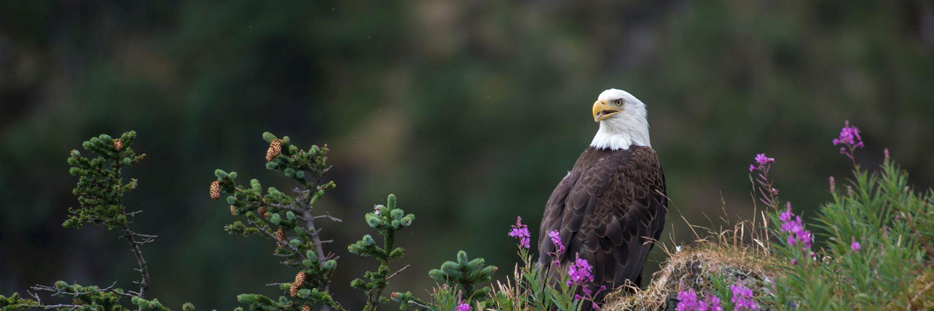 Bald eagle, Terra Nova National Park
