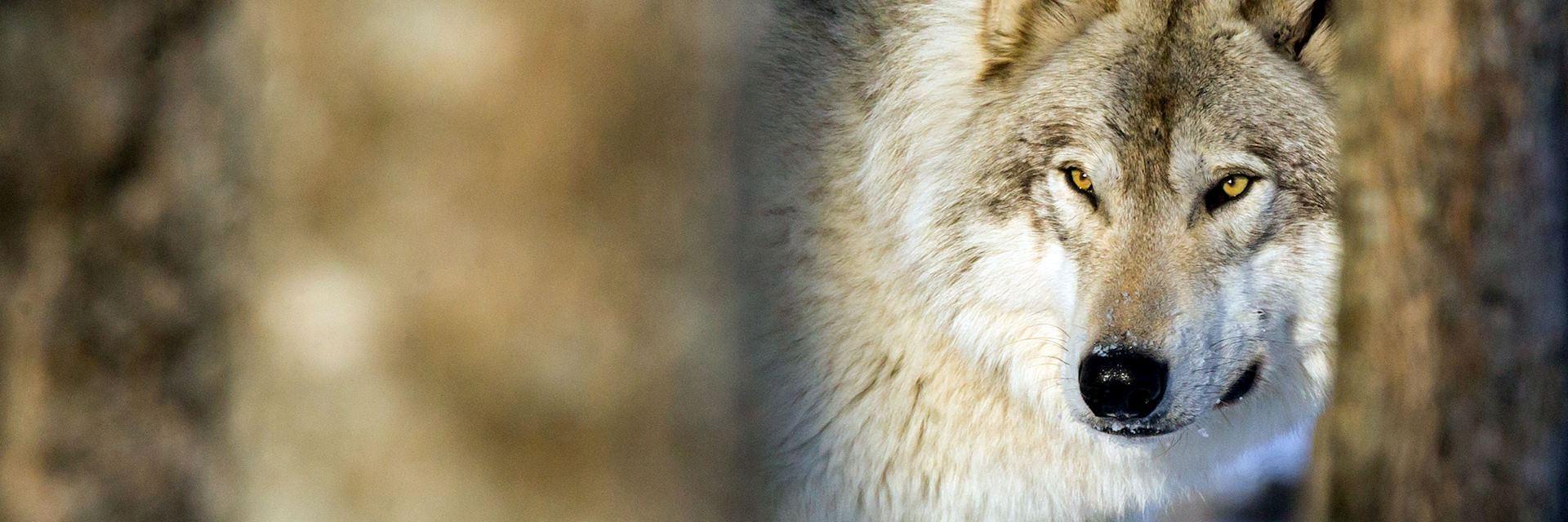 Grey Wolf, Ontario