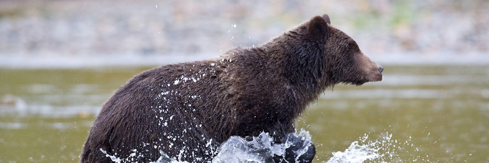 Grizzly bear, Yoho National Park, Canada