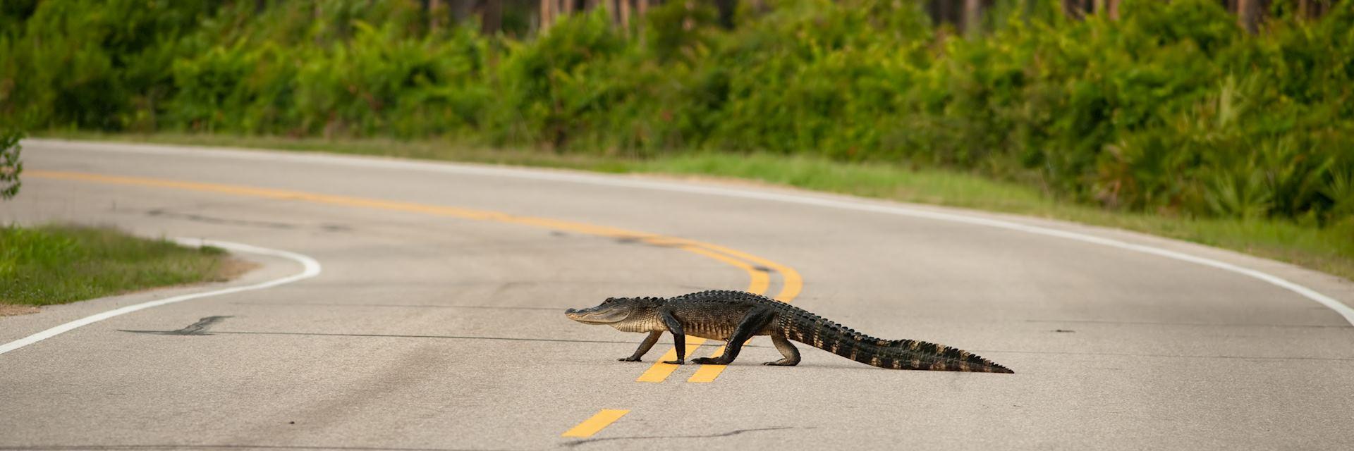 Alligator on Florida road