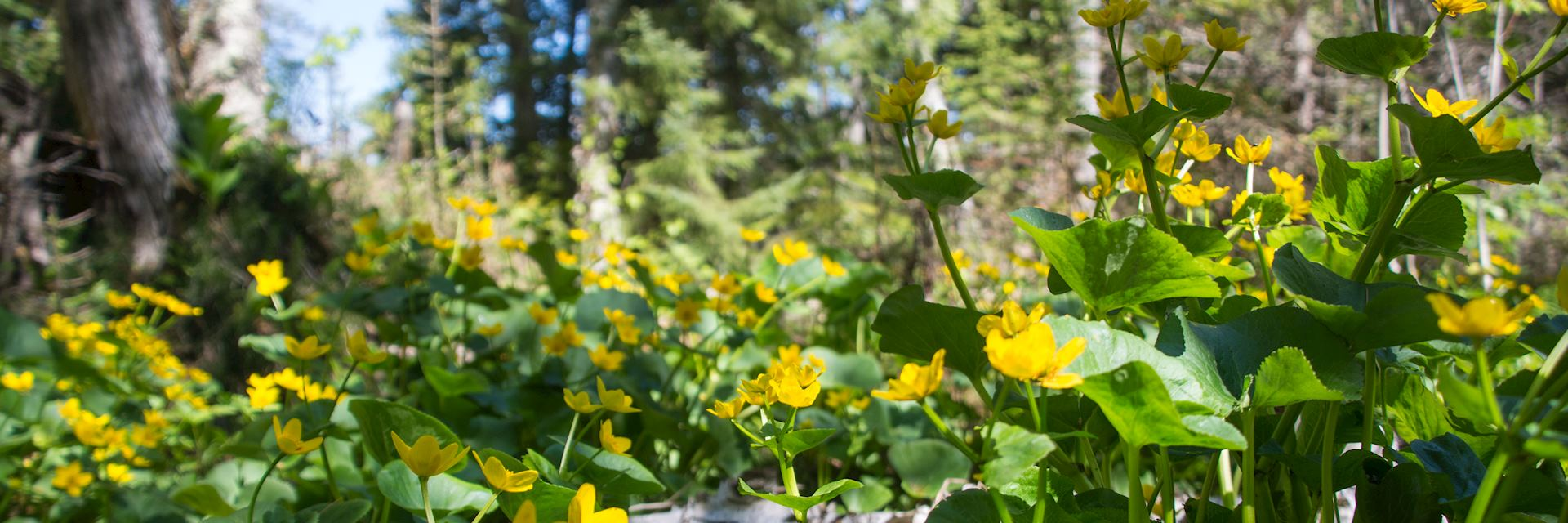 Flowers in Isle Royale National Park
