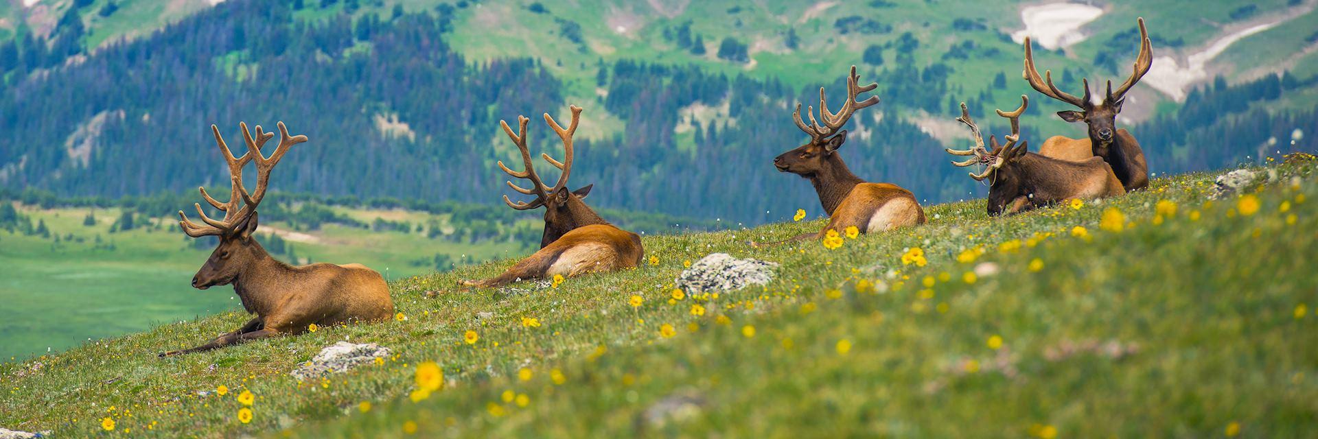 North American elk, Estes Park