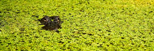 Alligator, Louisiana swamp