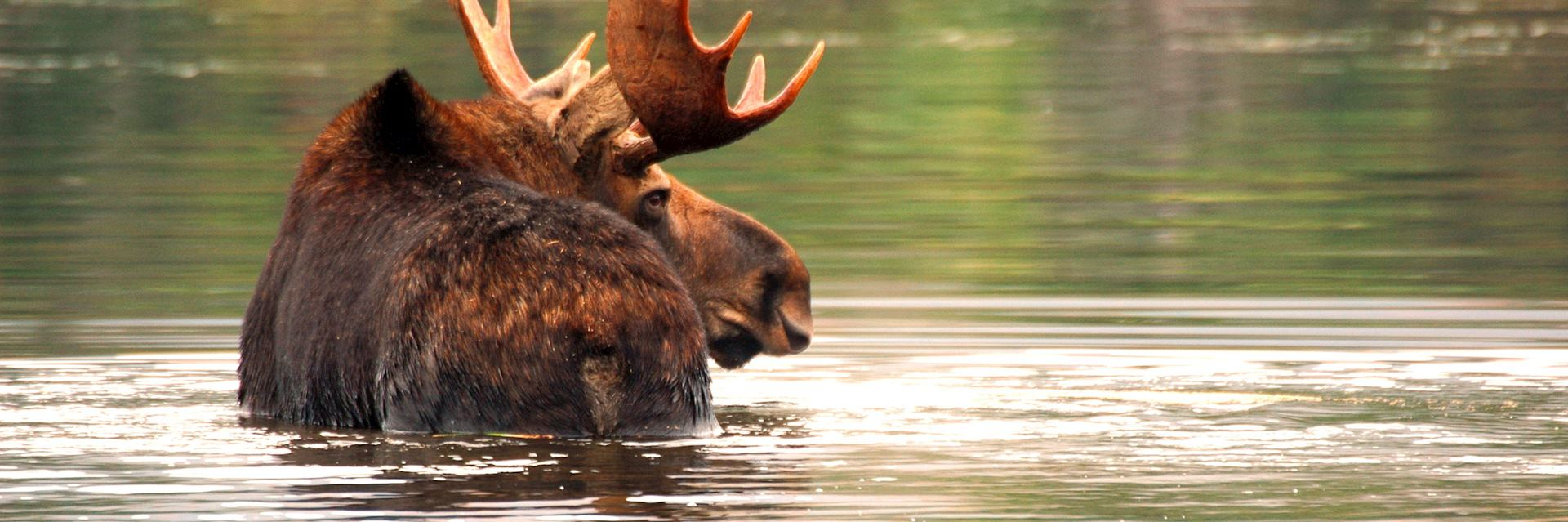Bull moose in New England