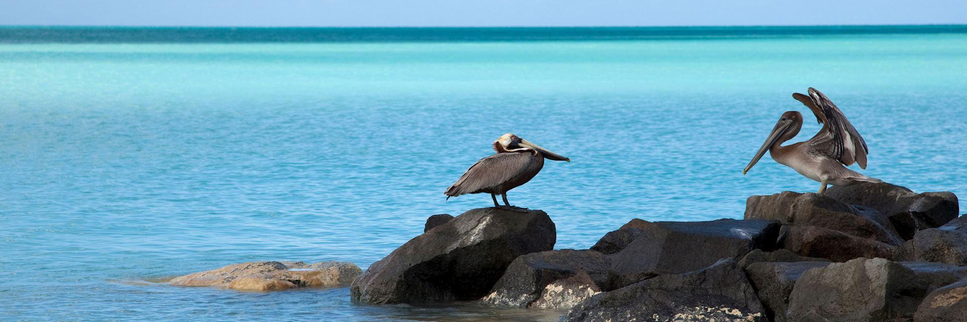 Pelicans on the coastline of Antigua