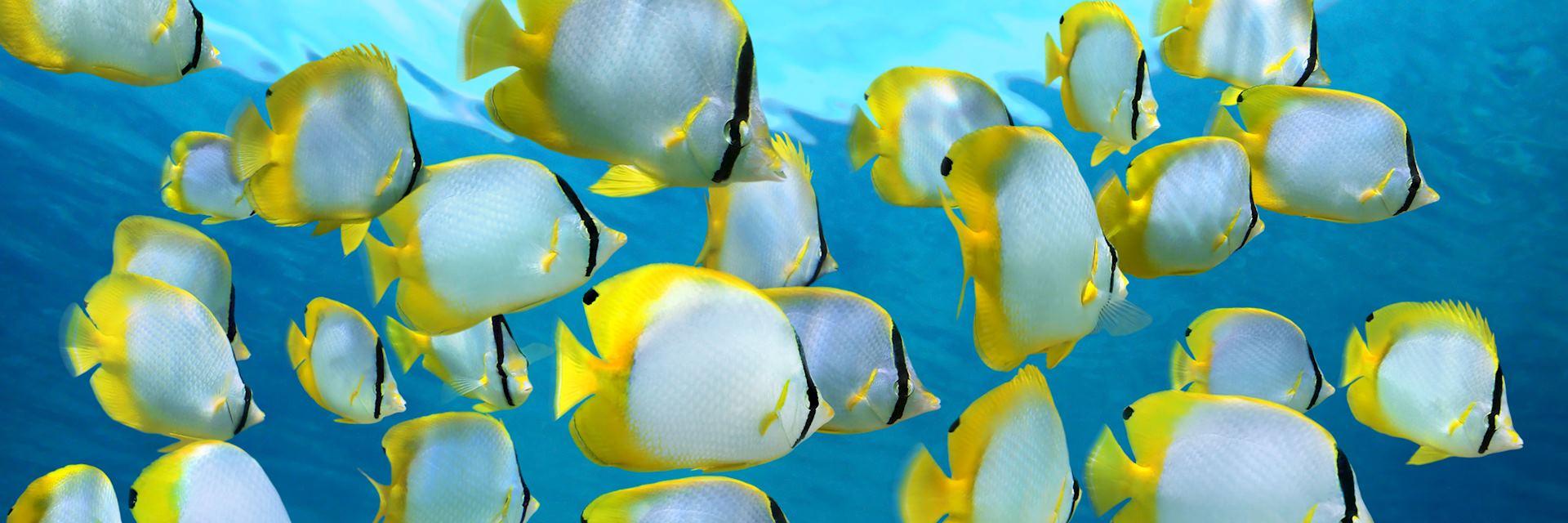 Spotfin butterflyfish, Caribbean