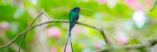 Hummingbird, Jamaica