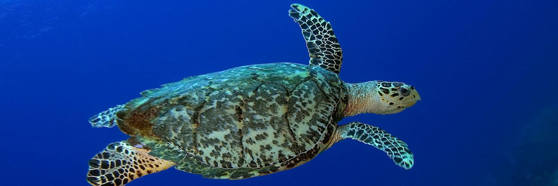 Hawksbill turtle, St. Lucia
