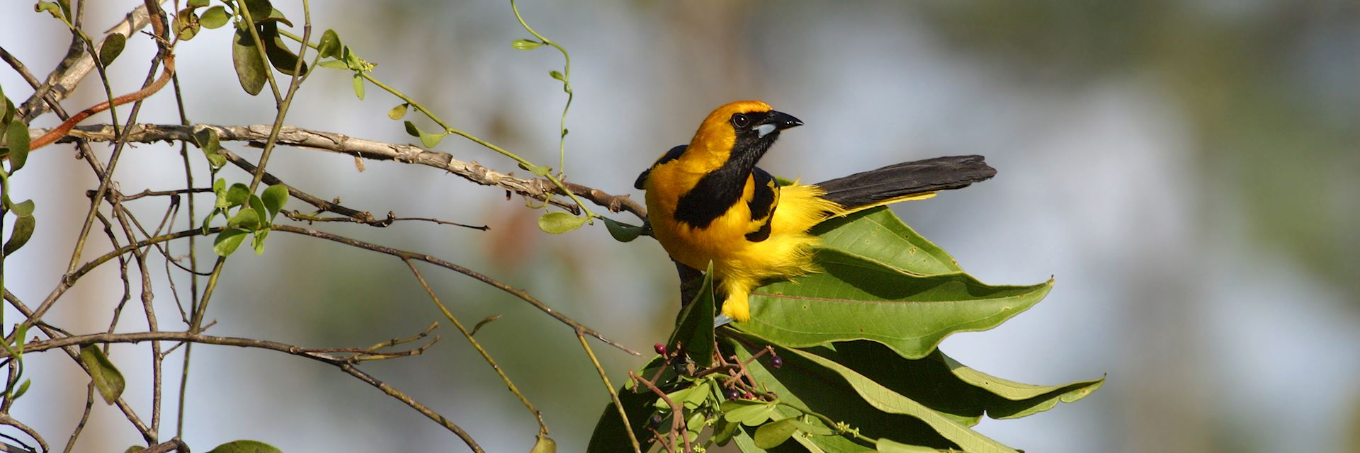 Yellow tailed oriole, Belize