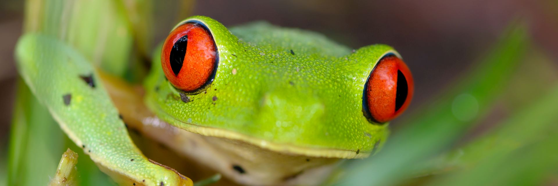 Red eye tree frog at night in the jungle of Belize