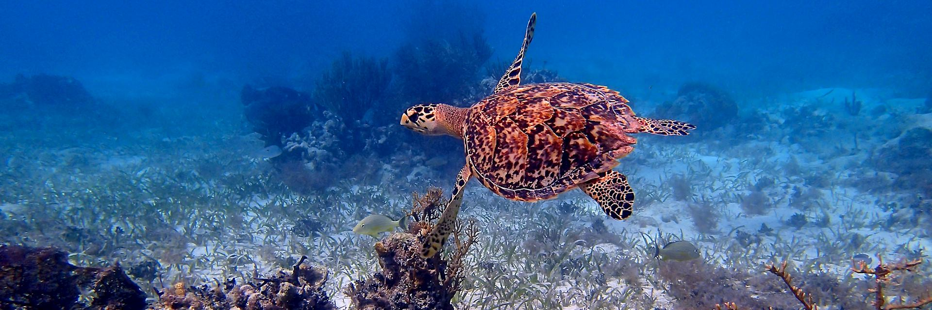 Sea turtle, Belize