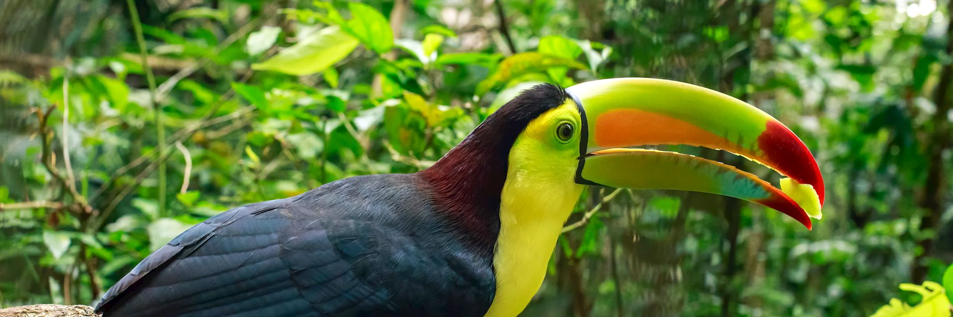 Toucan in Belize jungle