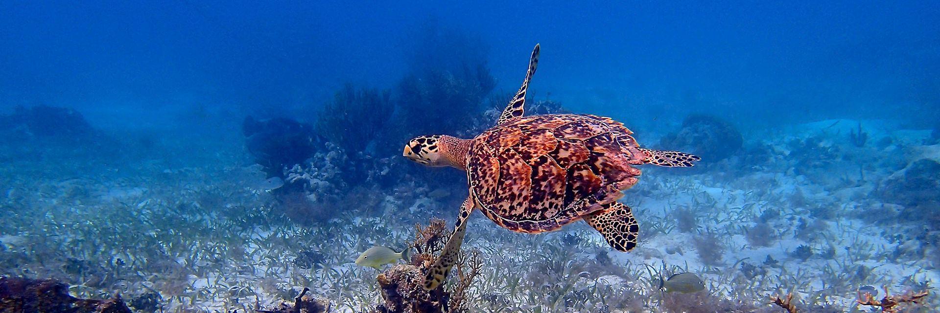 Sea turtle, Belize