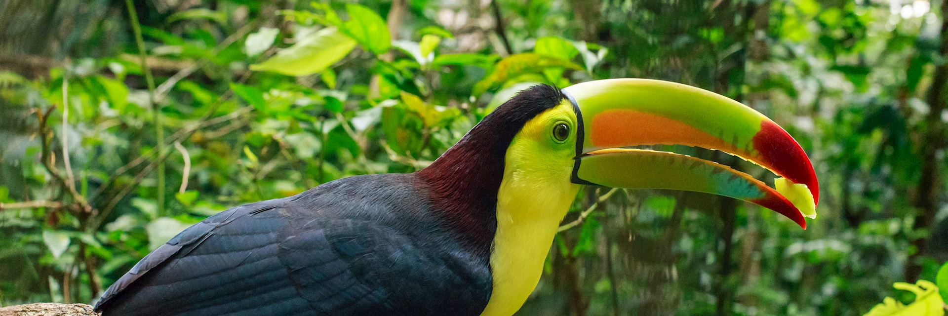Toucan in Belize jungle