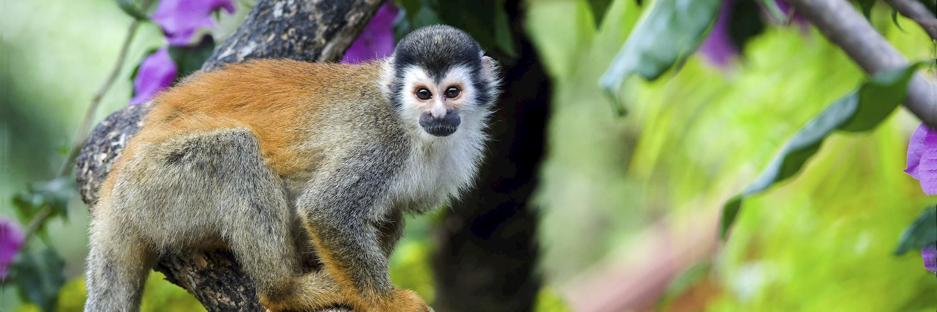 Squirrel monkey, Costa Rica