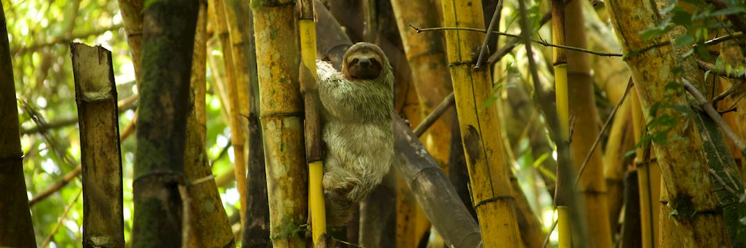 Sloth in a bamboo tree in Costa Rica