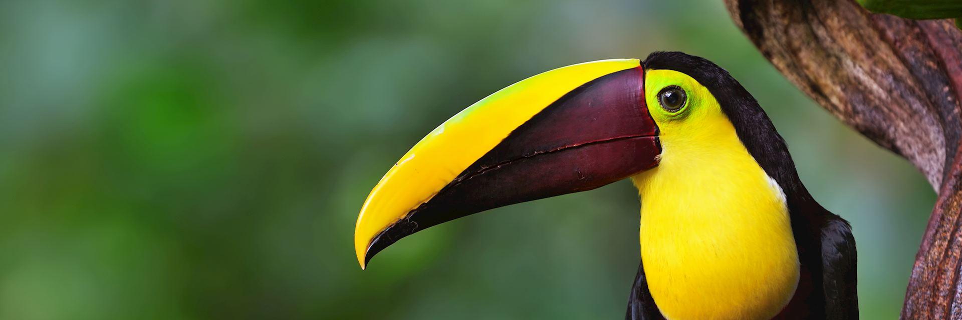 Chestnut-mandibled toucan in Costa Rica