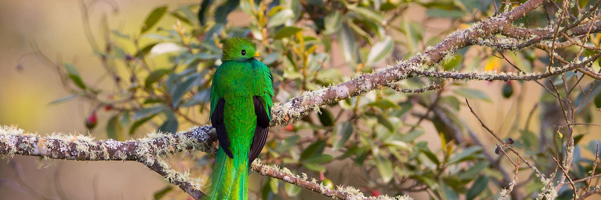 The Resplendent Quetzal in San Gerardo de Dota