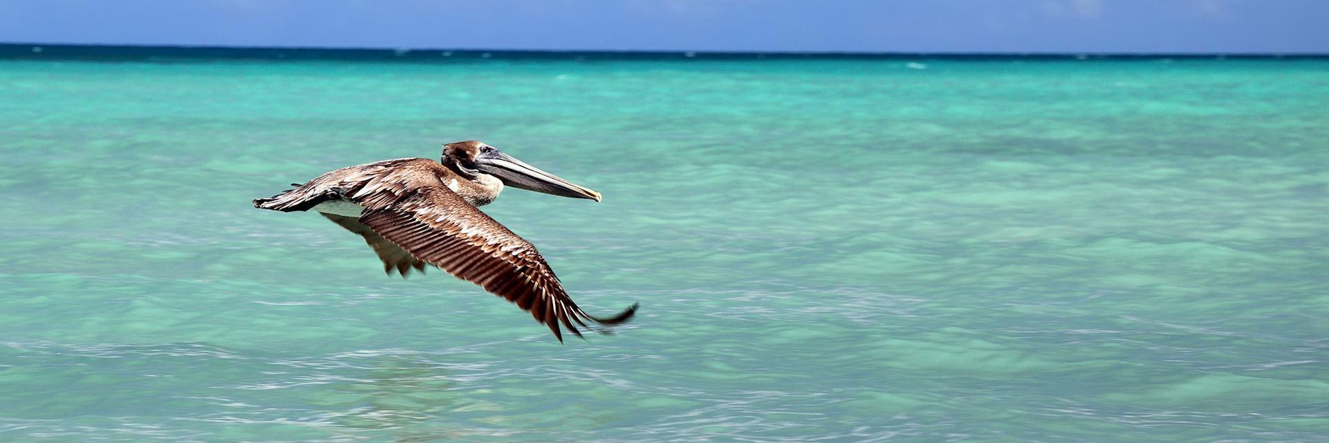 Pelican swooping over Varadero beach, Cuba