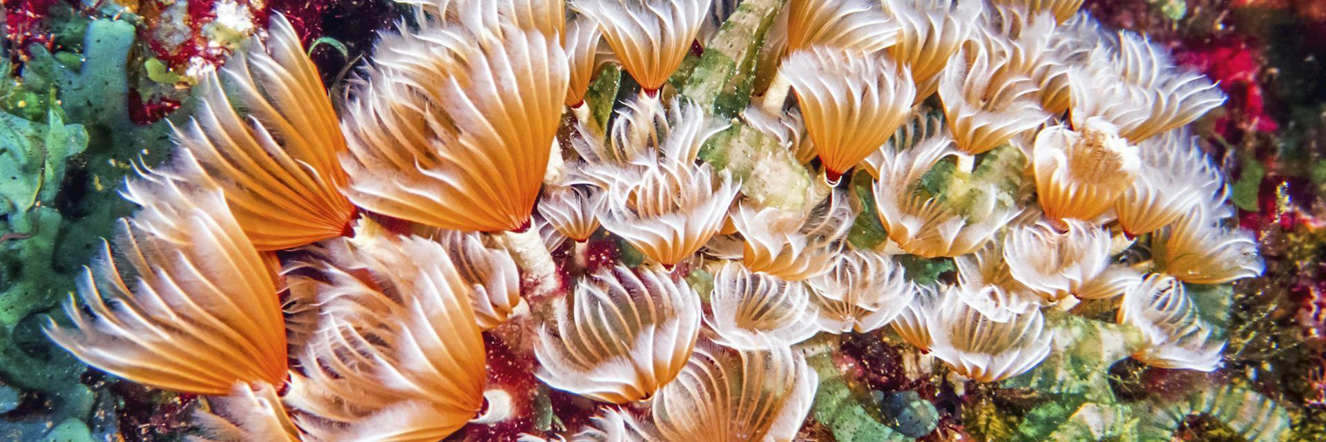 Bispira brunnea, a species of marine bristleworm