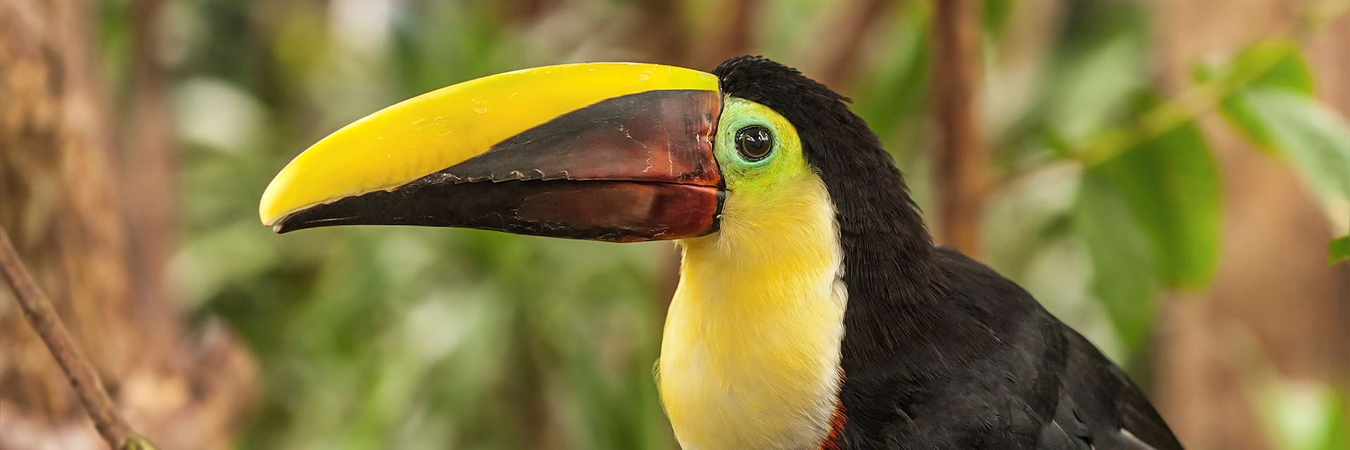Chestnut Mandibled Toucan, Costa Rica