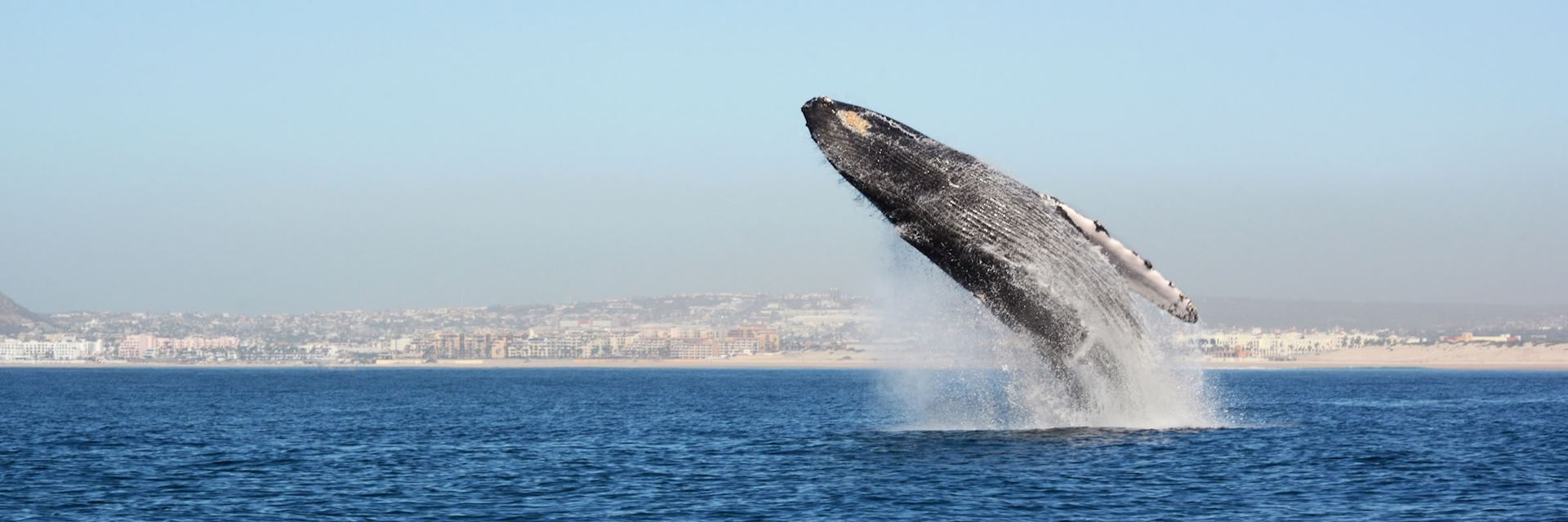 Whale breaching, Baja California, Mexico