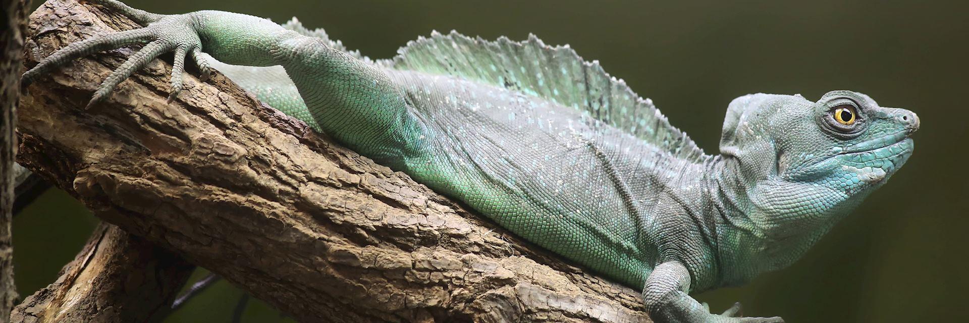 Plumed basilisk iguana