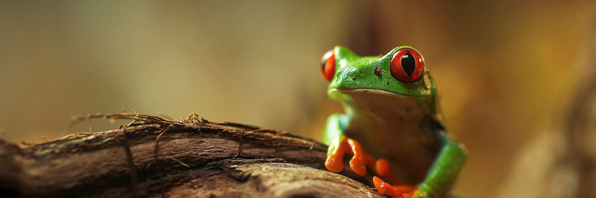 Red-eyed tree frog, Nicaragua